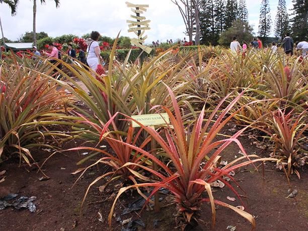 パイナップルが植えられている園内