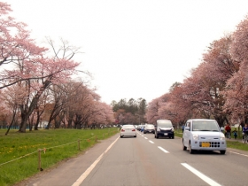 道沿いの満開の桜