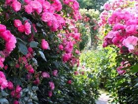 満開のバラ