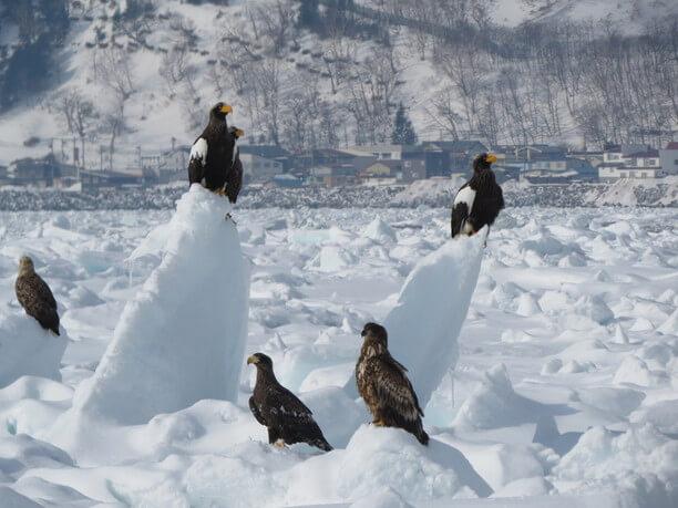 流氷とオオワシ