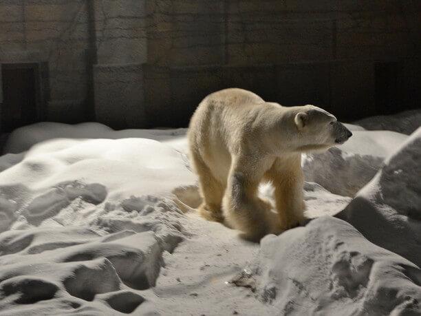 白い雪とともにライトに照らされたホッキョクグマ