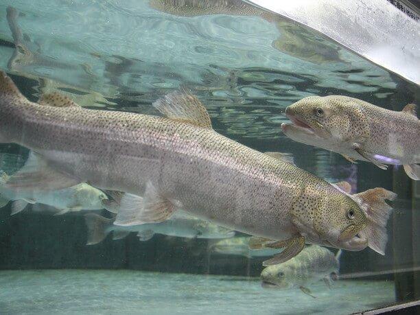 イトウを中心とした淡水魚のコーナー