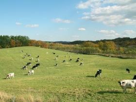 目の前に見える牛の群れ