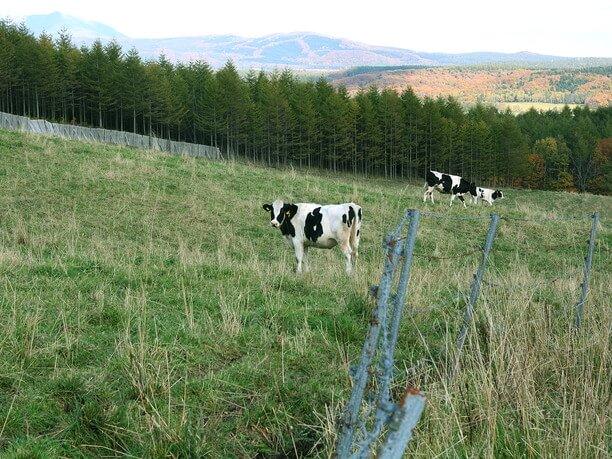 好奇心旺盛な牛