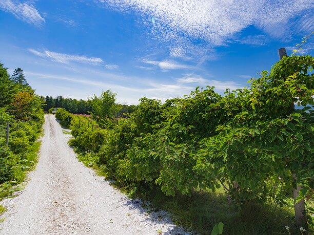 散策路に沿ってたくさん植えられているコクワ
