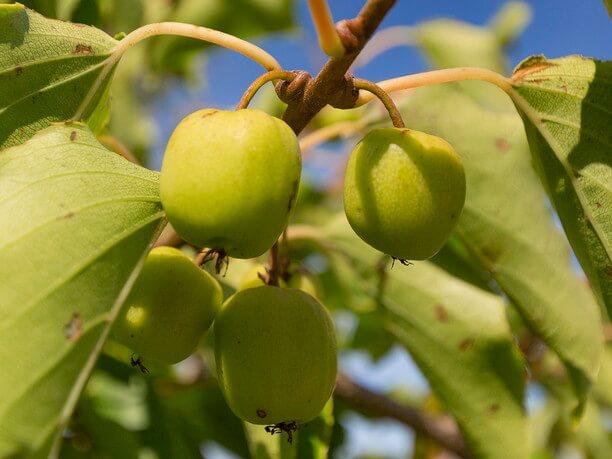 ジャムや果実酒にもしたりできる人気の果物