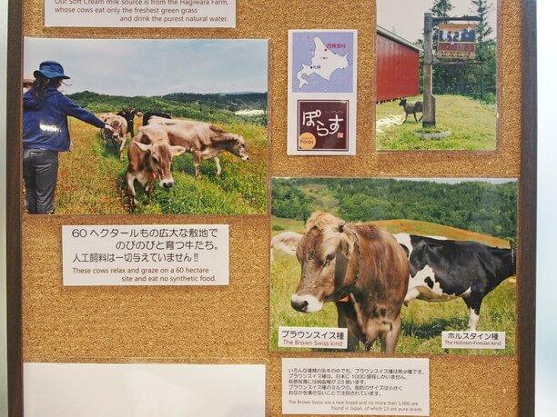青草ときれいな水だけで育った放牧牛