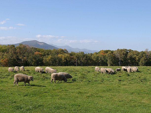 放牧されている羊