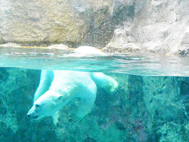 旭山動物園のシロクマ