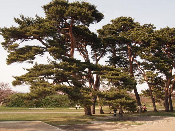 公園内の赤松