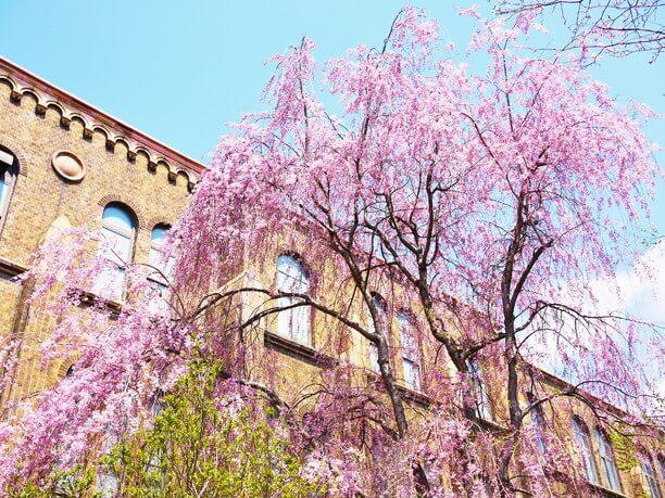 キャンパス内の桜