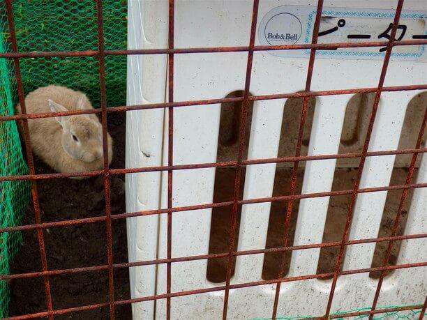 ウサギのピーター