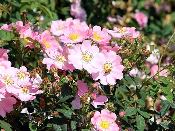 様々な種類のバラ