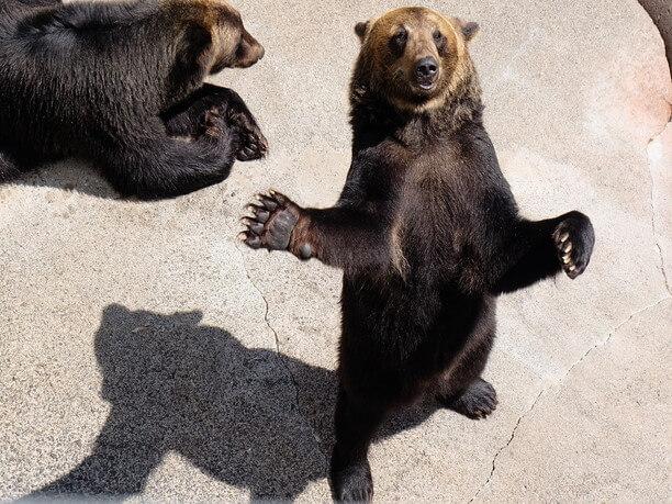 二本足で立つヒグマ