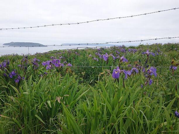 ヒオウギアヤメが咲く時期