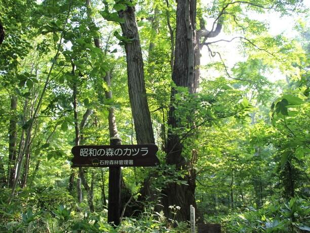 昭和の森のカツラ