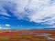 一面のサンゴ草