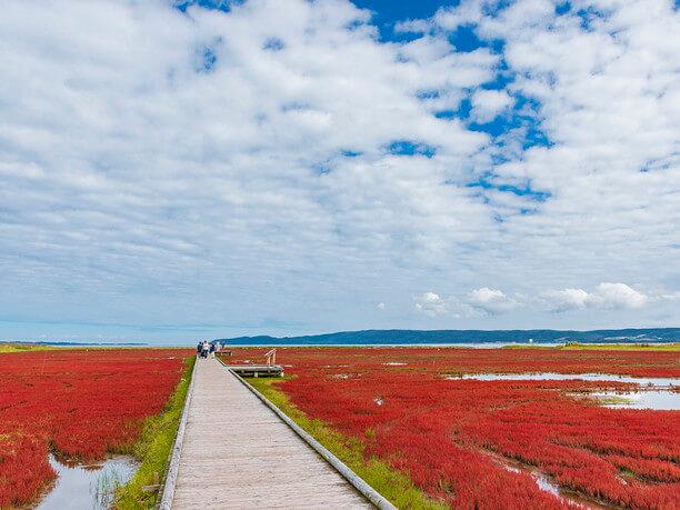 真紅の絨毯のようなサンゴ草