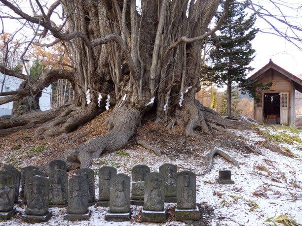 樹齢700年以上のカツラの巨木