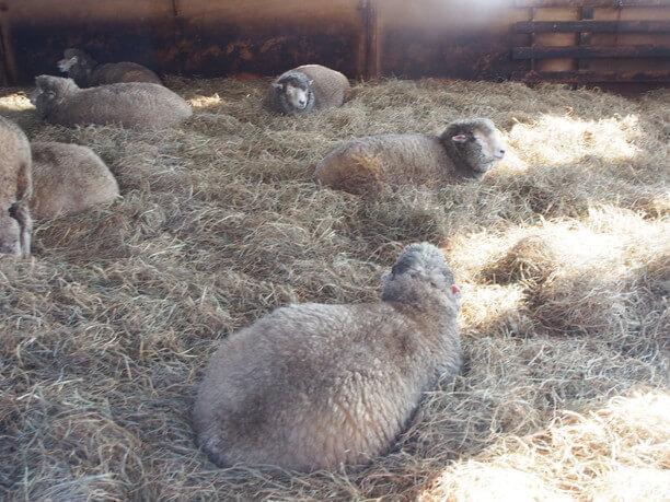 おうちでのんびりする羊たち