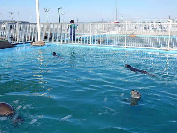 プールを泳ぐアザラシ
