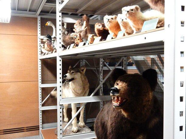 オホーツク海で見られる動物のはく製