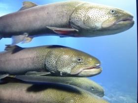 日本最大級の淡水魚・イトウ