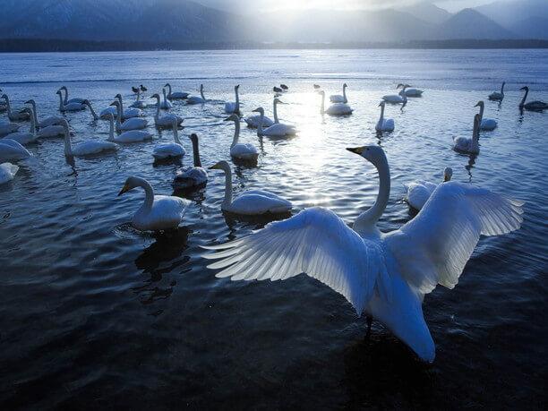 飛来した白鳥