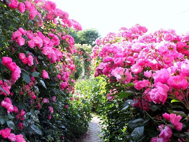 勢いよく咲き誇っているピンクのバラ