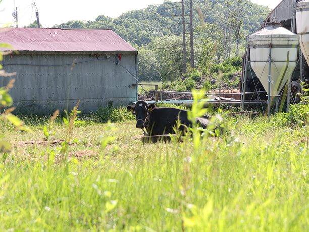 広々とした草原でくつろぐ牛