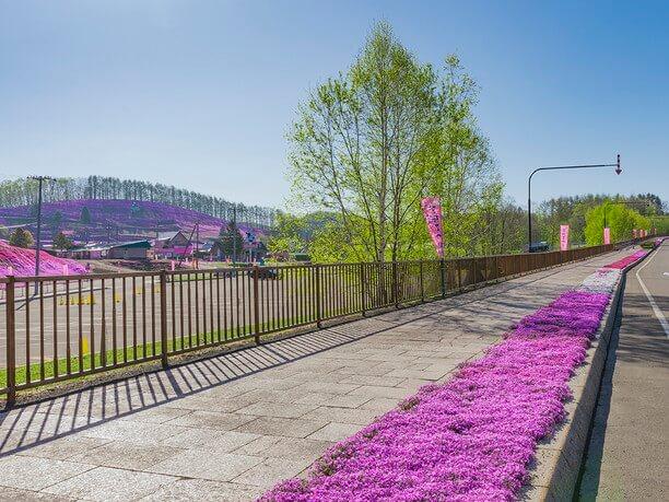 歩道の芝桜