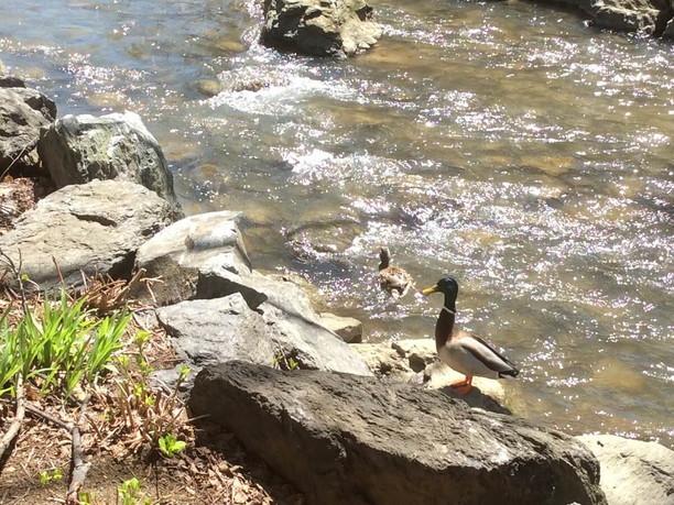 岸辺で遊ぶカモたち
