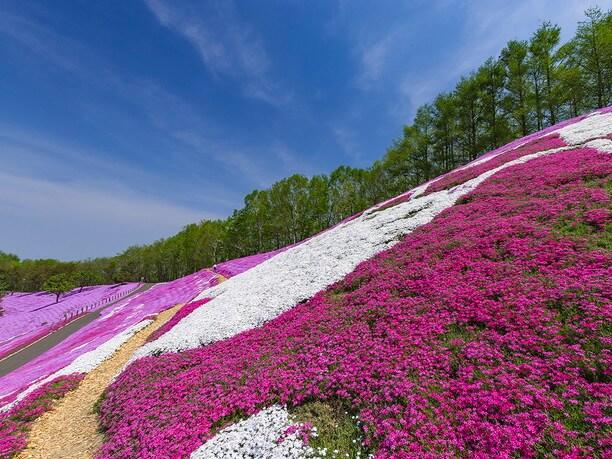 紅、桃、白、紫など多彩な品種が揃う斜面