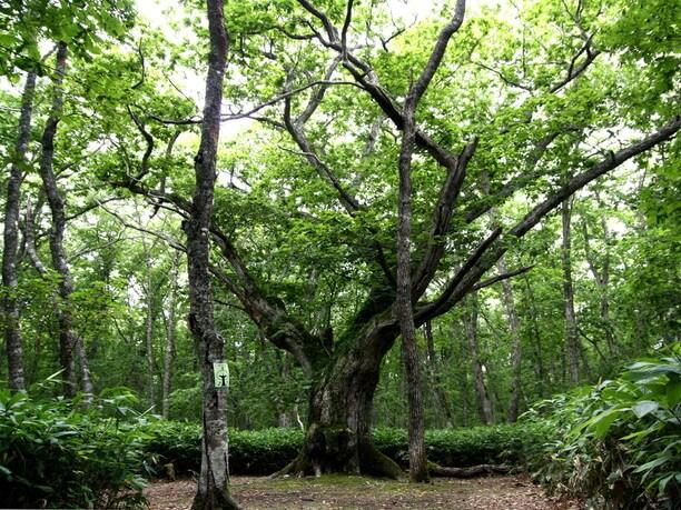 巨大なミズナラの木