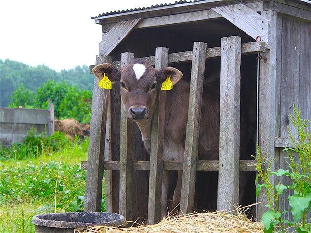 かわいい子牛