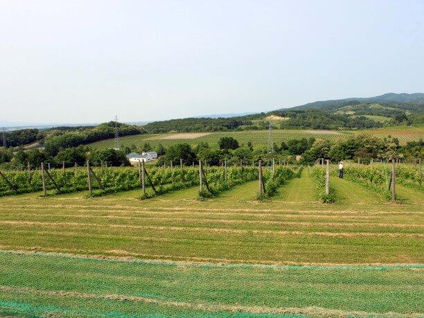 広大なブドウ畑
