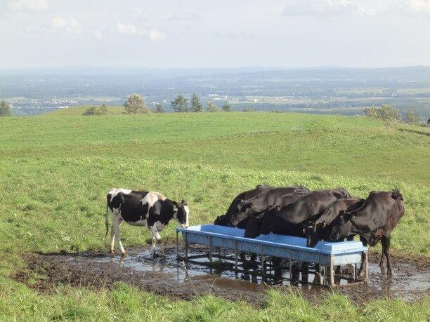 のびのびと過ごす牛たち