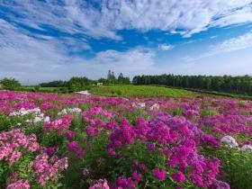 見渡す限りピンク色のフロックスの花