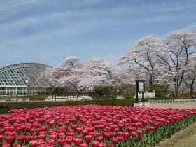 春の桜とチューリップ