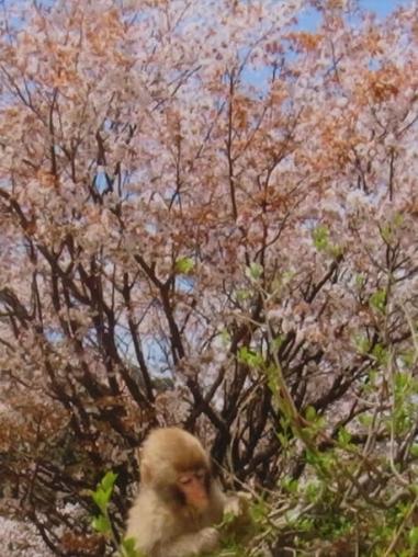 桜とお猿さん