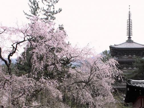 素晴らしい桜