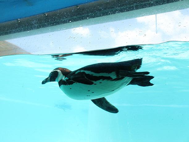 館内水の中から見たペンギン