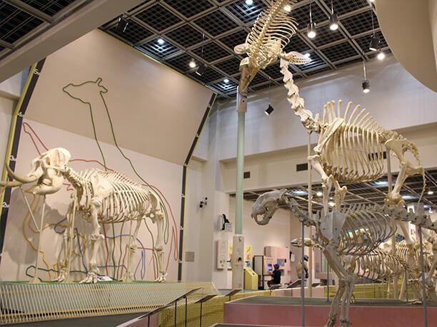 動物の骨格標本の展示