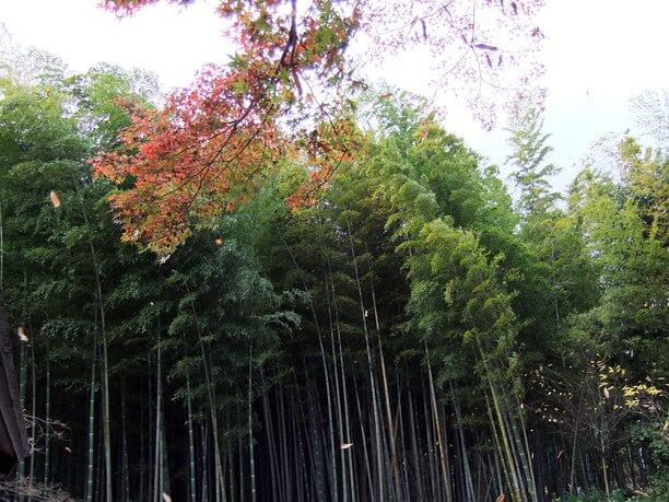 秋の嵯峨野竹林
