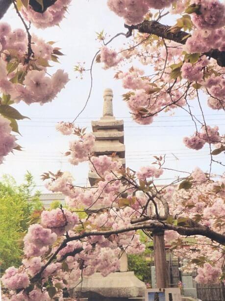 ゑんま堂普賢象桜