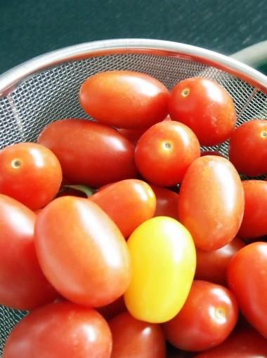 鮮やかなトマトたち
