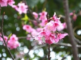 桜の花のアップ写真