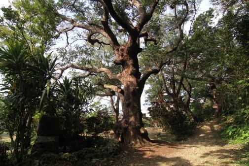 樹齢300年の巨木
