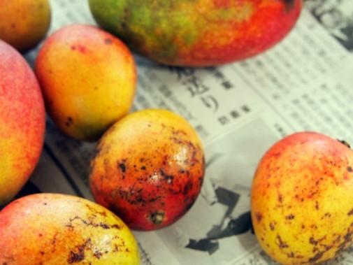 ピンポン玉サイズのマンゴー