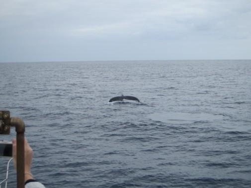 海面から見えるクジラのしっぽ